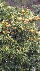 мандарины Абхазии
